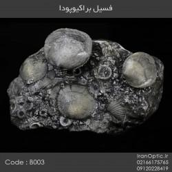 فسیل براکیوپودا - کد B003